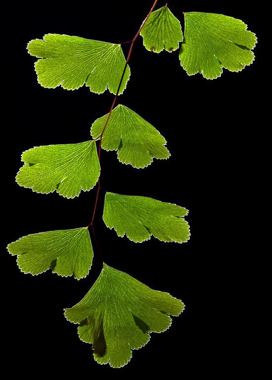 Brittle Maidenhair Fern