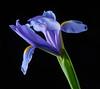 Purple Iris #2