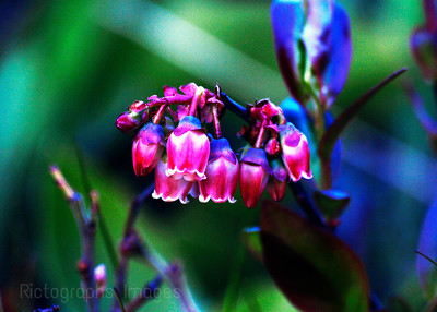 BlueBerry Wildflowers,