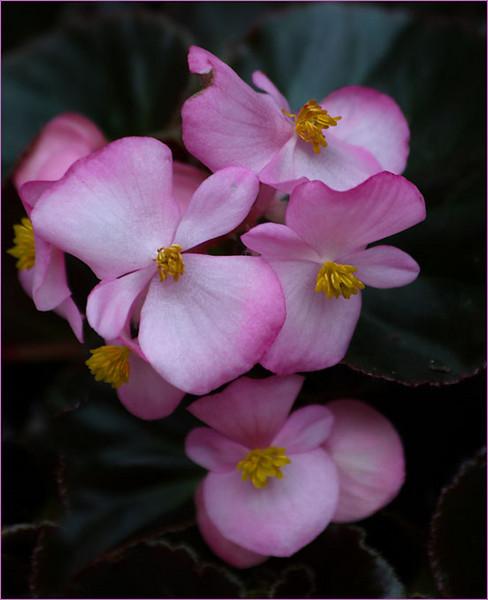Begonias (115064831)