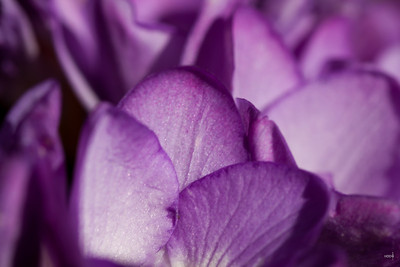 Purple Freesia close-up