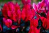 CRay-Flowers-0094