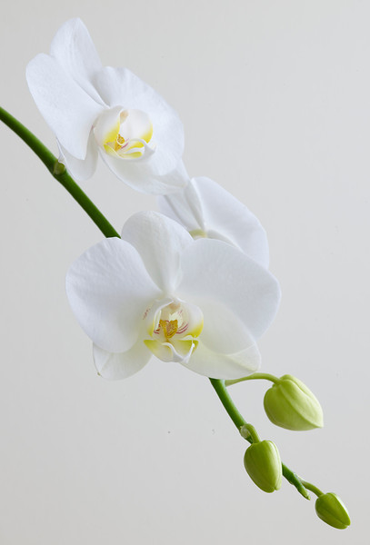 White on white with green stem