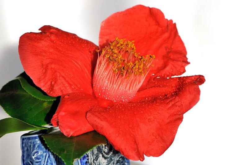 Camellia flower.<br /> 12th August 2008<br /> Sydney, Australia.
