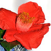 Camellia flower.<br /> 12th August 2008<br /> Sydney, Australia.