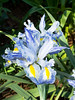 Blue Delft Dutch Iris