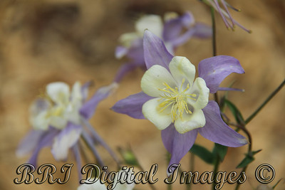 Light Blue And White Columbine