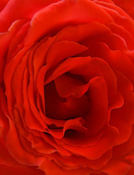 Rose1_Web_3911