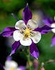 Purple columbine -- Aquilegia
