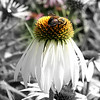 The bees were so happy with this collection of cone flowers in Bloomington on a warm spring day!