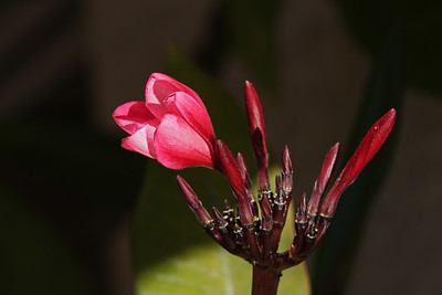 Plumeria Flowers coming soon!