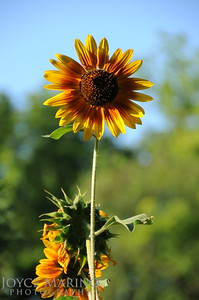 Sunflower standing tall -- DSC_8000
