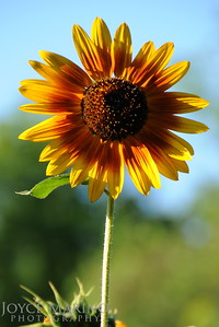 Sunflower -- DSC_7998