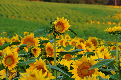 Sunflower fields, DSC_5430