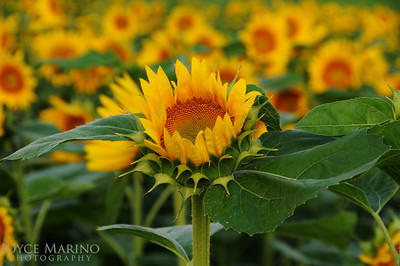 Sunflower field -- DSC_5344
