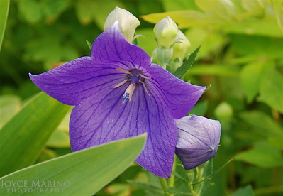 Purple Balloon Flower -- DSC_0024