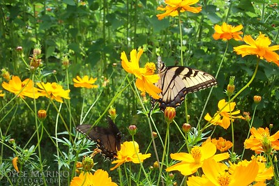 Yellow daisies and butterfly -- Summergarden7_2006_053