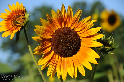 Sunflowers -- DSC_8012
