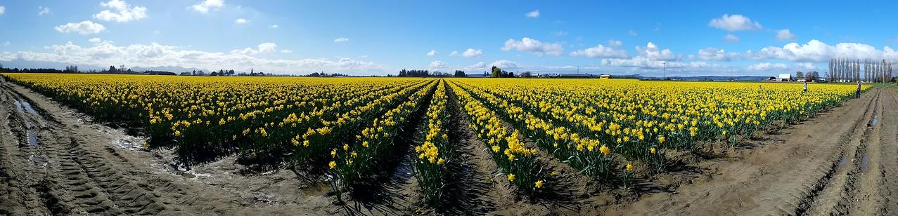 2017 Daffodils in Skagit