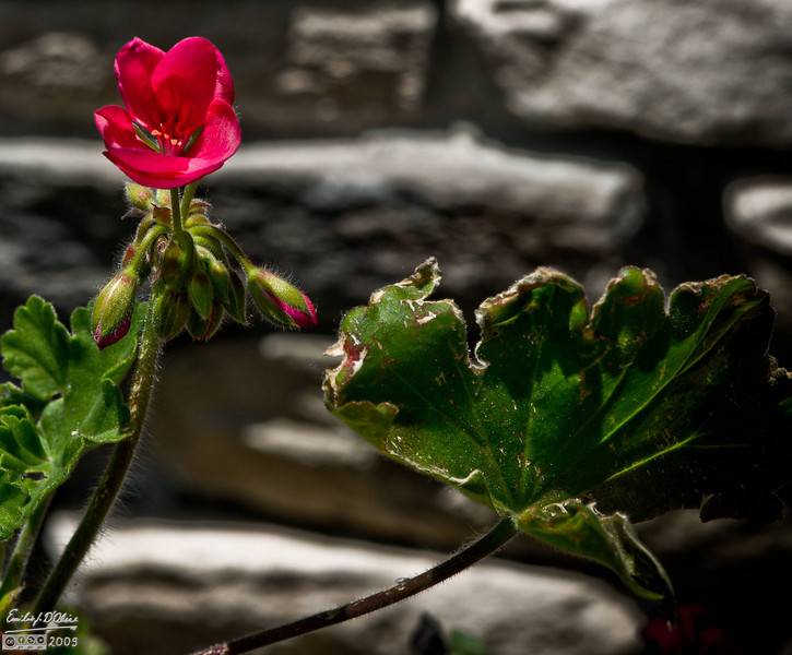 A new Geranium flower and evidence of the damage the plant took during a recent hail storm.