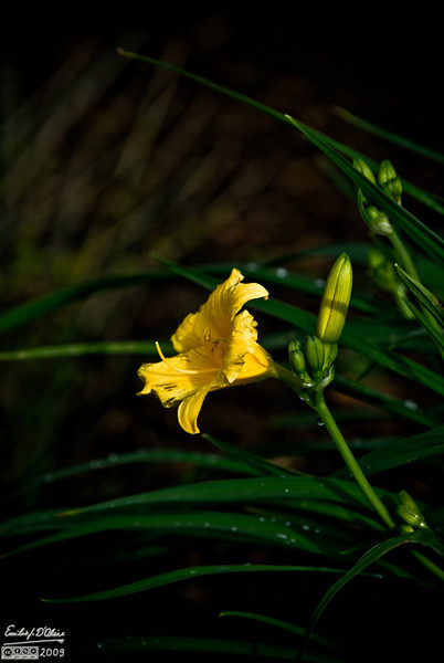 A Stella D'Oro Lily after some rain.