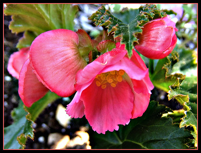 PINK AND BEGONIA