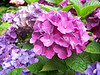 Purple Hydrangea in bloom.
