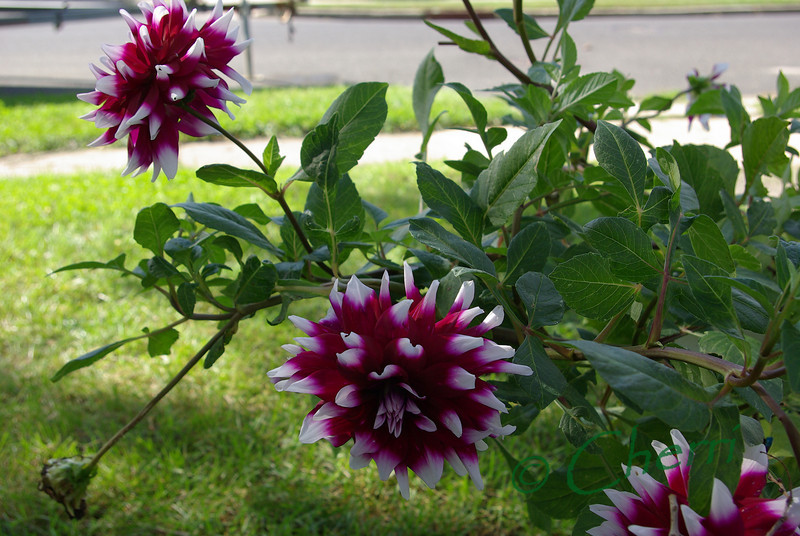 Dahlia in bloom.