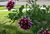 Dahlia in bloom.