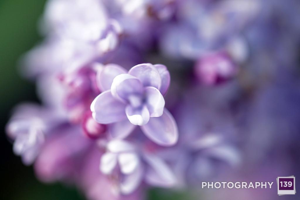 Alley Lilacs