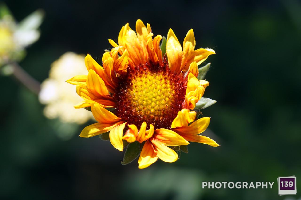 McHose Park Flower