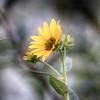 Dickcissel Wildflowers