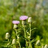Dickcissel Wildflower