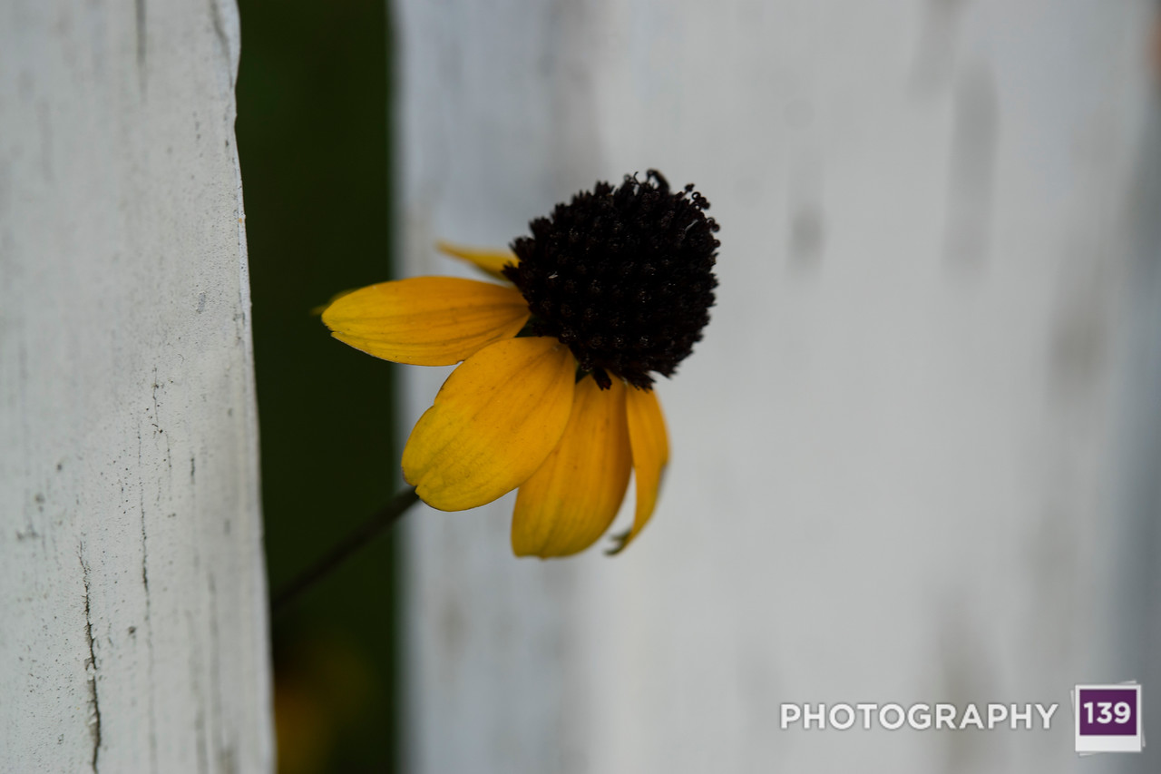 Flower Peeks Through Fence