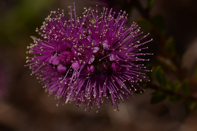 "Pink kunzea, ""Kunzea capitata"", note long multiple stamens.  See other purple flower, Purple Paperbark further along in gallery."