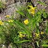 Arizona Yellows