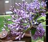 Lilac - Syringa