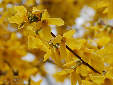 Yellow Forsythia, #0003532416017