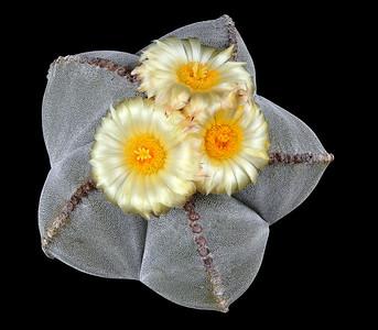 Astrophytum myriostigma.