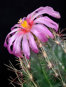 Thelocactus bicolor.