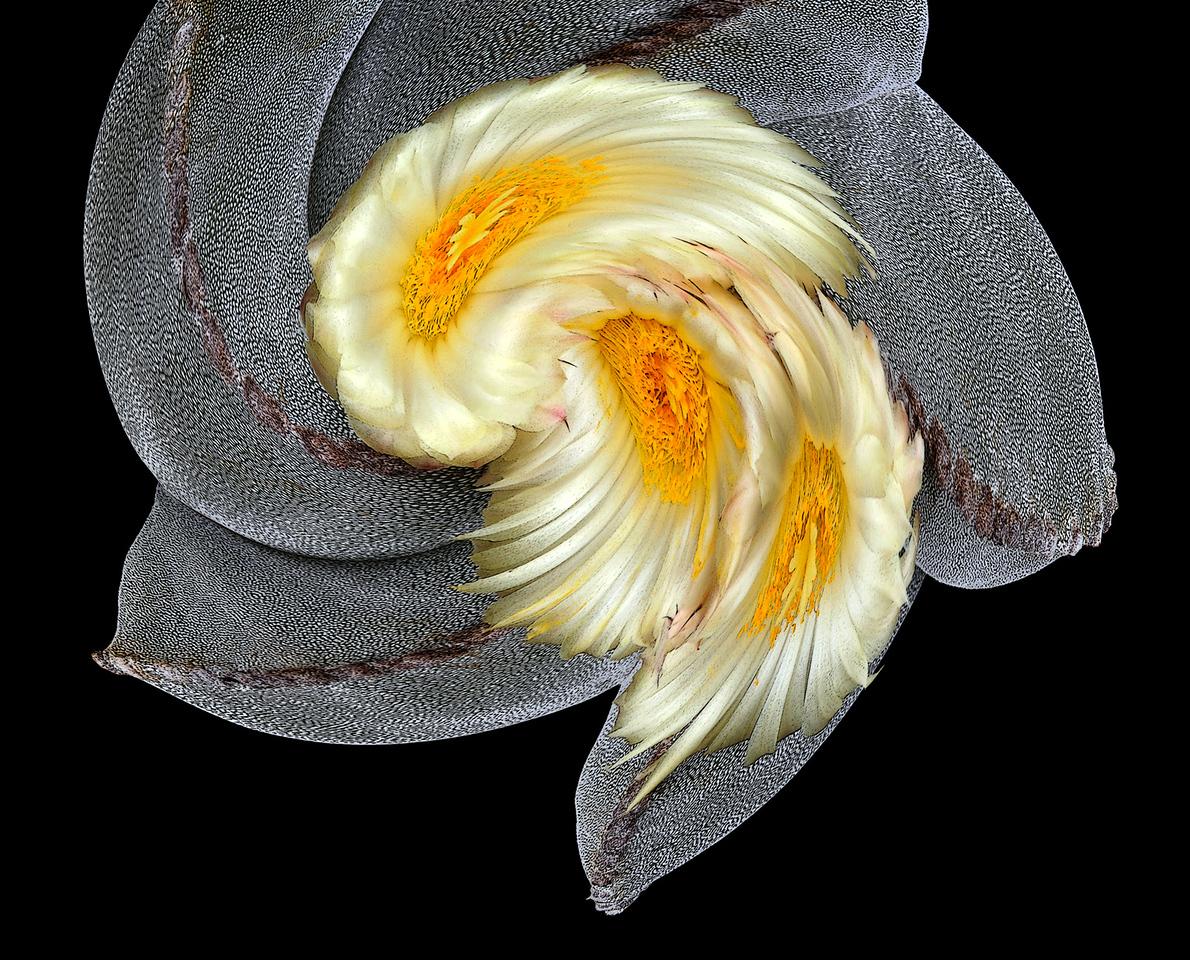 Astrophytum myriostigma on a very windy day.
