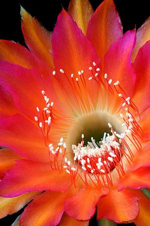 """Echinopsis  """"Cheetah"""""""