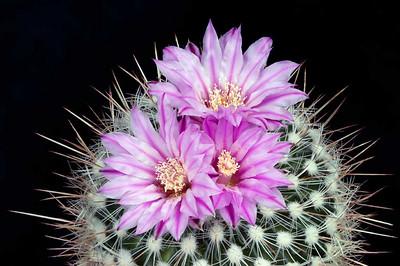 Notocactus (?)
