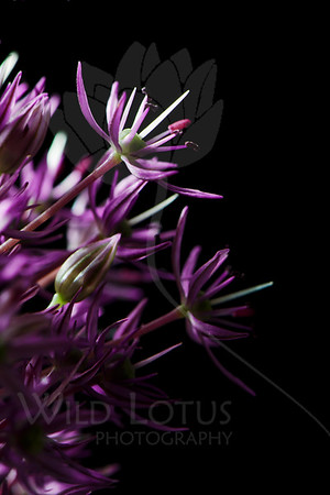 Strive  Flower pictured :: Allium  Flower provided by :: Babylon Floral  120112_005779 ICC sRGB 16in x 24in pic