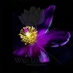 Sparkler  Flower pictured :: Pasque Flower  Flower provided by :: The Gardens at Highlands Ranch  040713_010097 ICC sRGB 24x24 pic