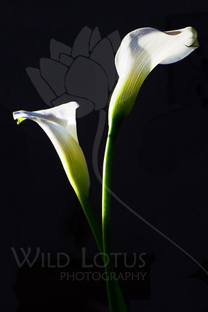 Shadow & Curve 2  Flowers pictured :: Calla Lilies  Flowers provided by :: Babylon Floral  022313_008632 ICC sRGB 16in x 24in pic