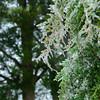 Eastern Red Cedar with frozen rain