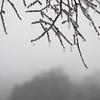 Winged Elm with frozen rain