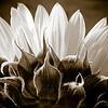 Sunflower in Black & White