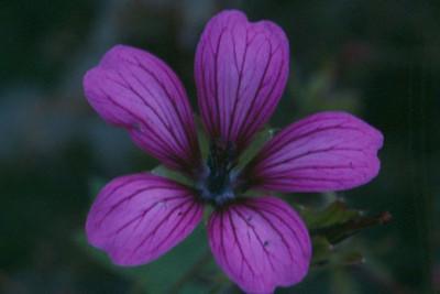 Geranium 'Sue Crug'